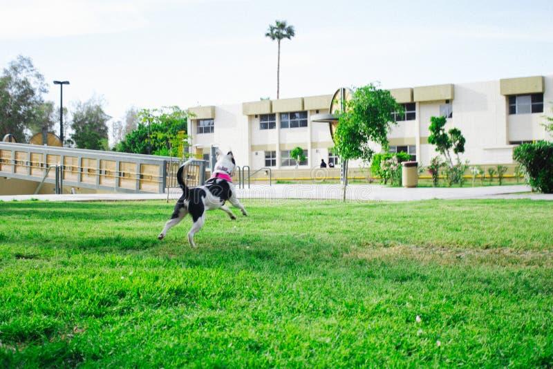 Mon saut de Lala de chien et saut photo libre de droits