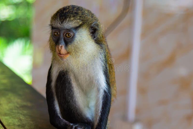Mona-Affe andernfalls bekannt als Cercopithecus Mona, die ruhig an einem Tisch sitzt stockbild