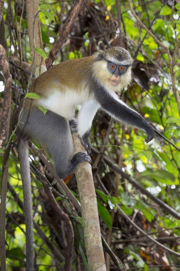 Mona apa (cercopithecusen mona) i ett träd arkivfoton