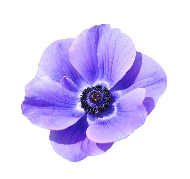 Mona híbrida roxa lisa cora flor imagens de stock royalty free