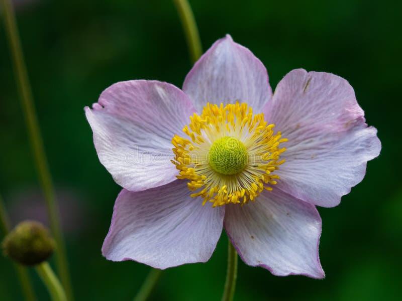 An?mona japonesa, hupehensis da an?mona, flor no close-up do canteiro de flores, foco seletivo, DOF raso foto de stock