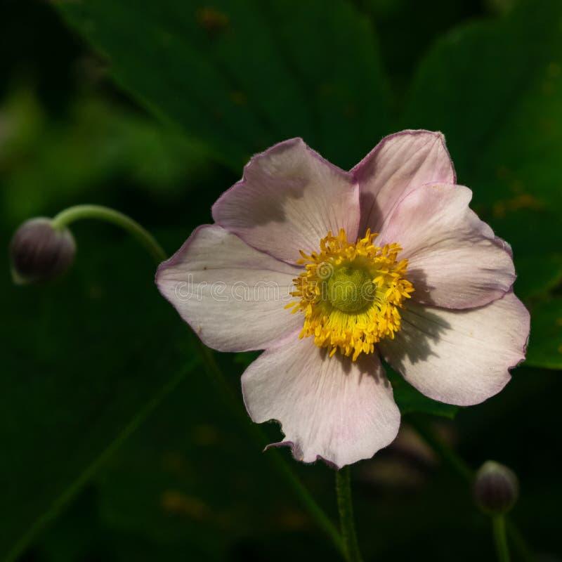 An?mona japonesa, hupehensis da an?mona, flor no close-up do canteiro de flores, foco seletivo, DOF raso fotografia de stock royalty free