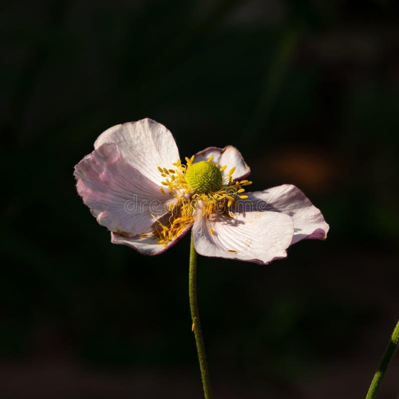 An?mona japonesa, hupehensis da an?mona, flor no close-up do canteiro de flores, foco seletivo, DOF raso imagem de stock