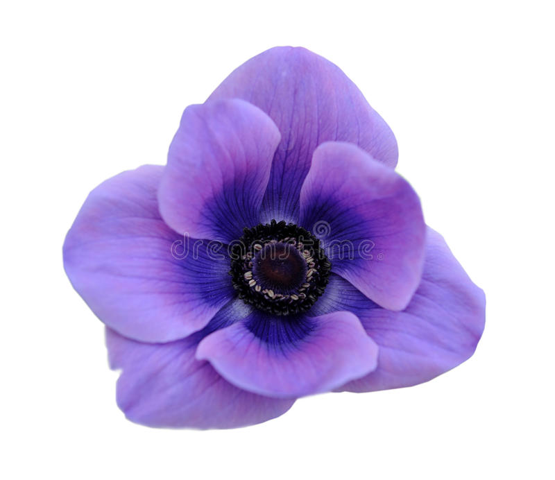 Mona lisa cora flor imagem de stock royalty free
