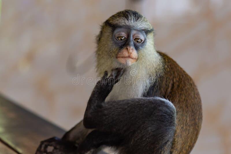 Mona małpi gapić się przy ja obrazy royalty free