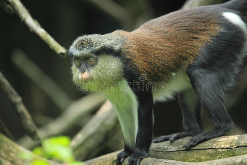 Mona monkey royalty free stock photos
