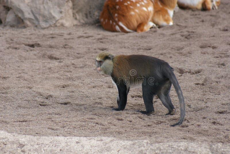 Mona Monkey - Cercopithecus mona arkivfoton
