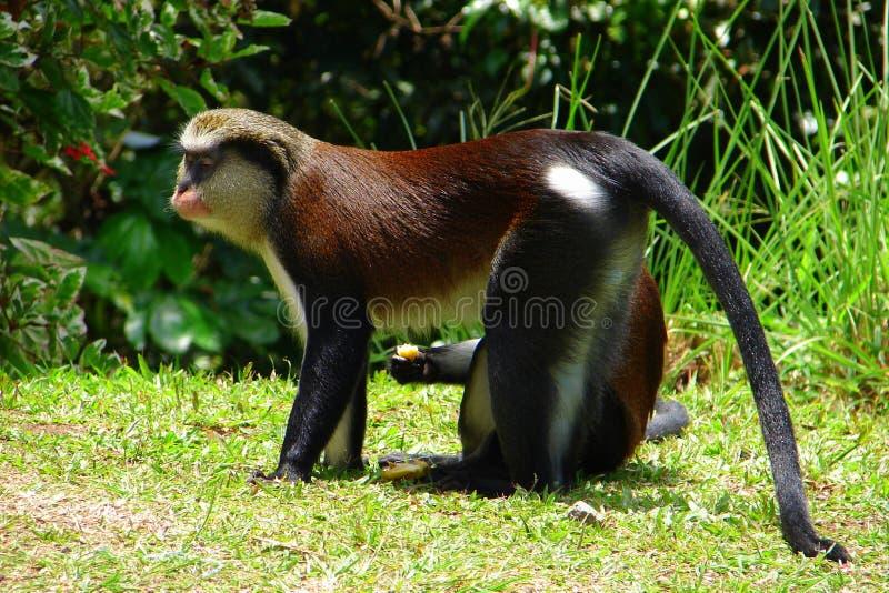 Mona Monkey op het gras stock foto's