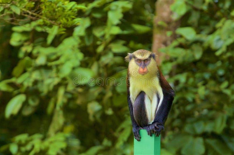 Mona Monkey fotografie stock libere da diritti