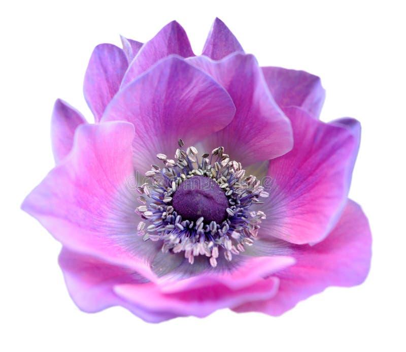 Mona roxa cor-de-rosa lisa cora isolado da flor no branco foto de stock royalty free