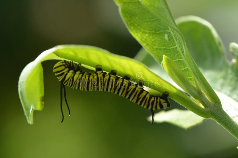Monaarch Caterpillar σε Milkweed στοκ εικόνα