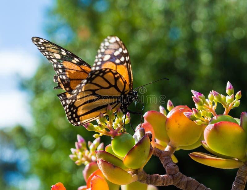 Monach-Schmetterling, der auf Jade Plant sitzt stockfotos