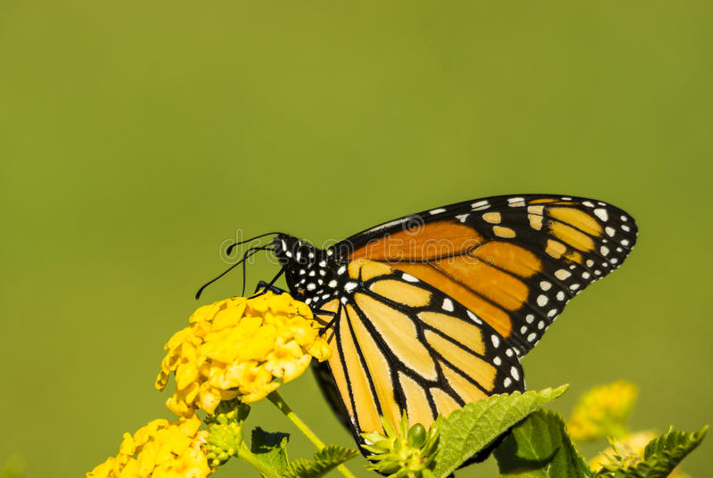 Monach-Schmetterling mit grünem backgrand stockfotografie