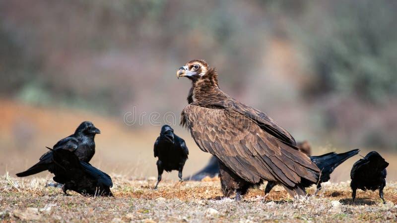 Monachus Cinereous d'Aegypius de vautour et le corax de Raven Corvus dans sauvage image stock