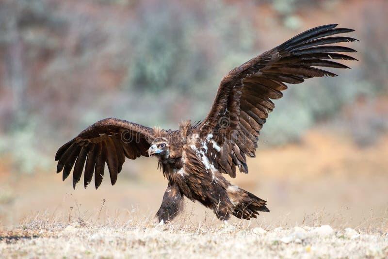Monachus Cinereous do Aegypius do abutre com asas abertas fotografia de stock