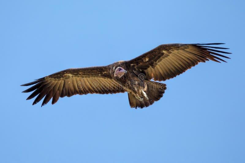 Monachus encapuçado de Necrosyrtes do abutre em voo imagens de stock