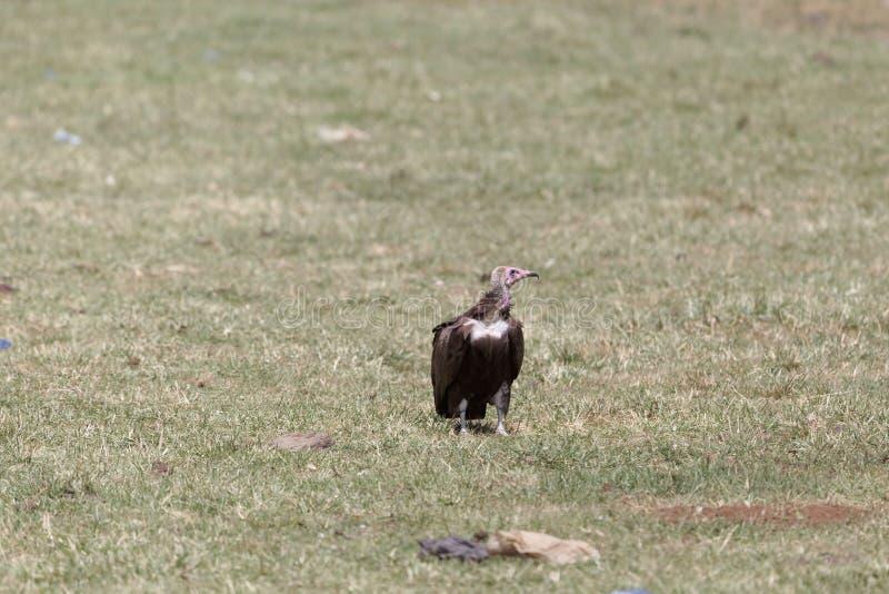 Monachus incappucciato di Necrosyrtes dell'avvoltoio fotografia stock