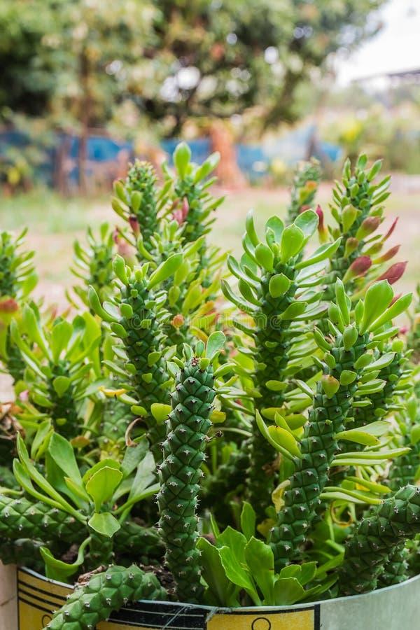 monadeniumkruid stock foto's