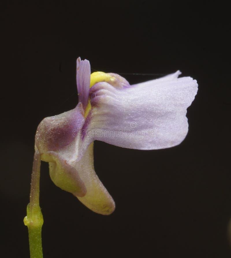 Monanthos d'Utricularia image stock