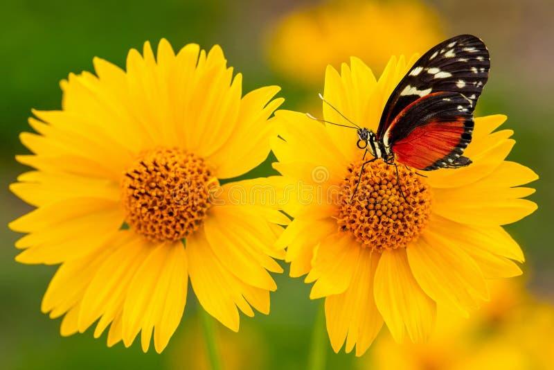 Monarca Butterly sul primo piano giallo del girasole fotografie stock
