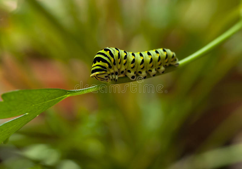 Monarca Caterpillar imagenes de archivo