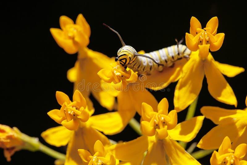 Monarca Caterpillar che mangia Asclepias immagini stock libere da diritti