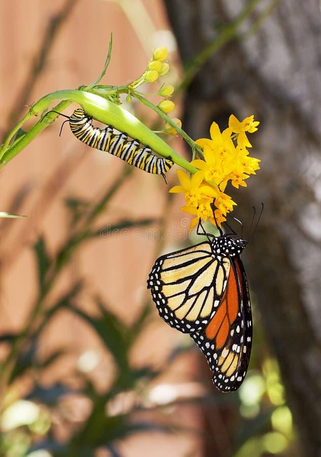 Monarca Caterpillar e farfalla fotografia stock libera da diritti