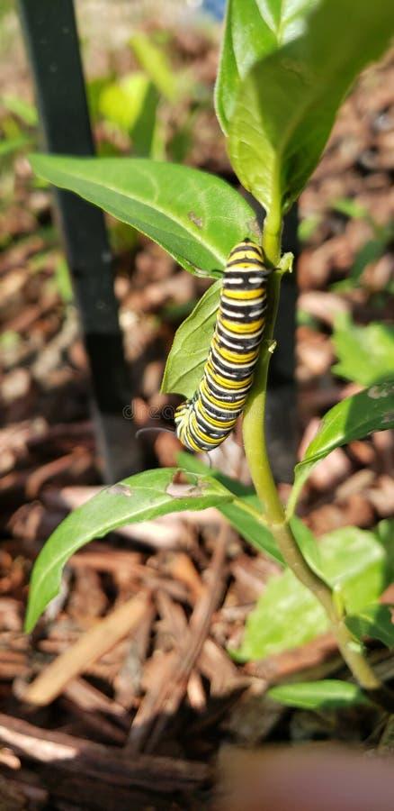 Monarca Caterpillar sul milkweed immagine stock