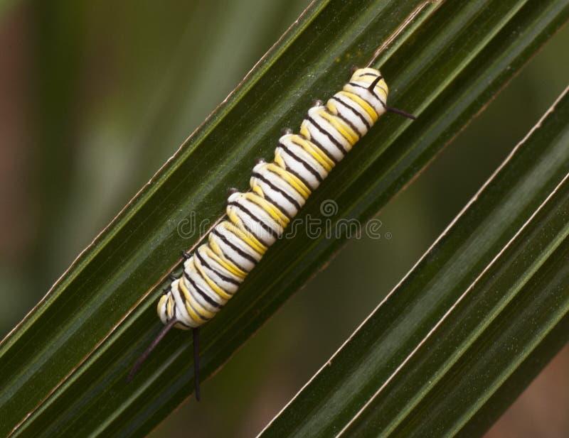Monarca Caterpillar sulla pianta verde immagini stock