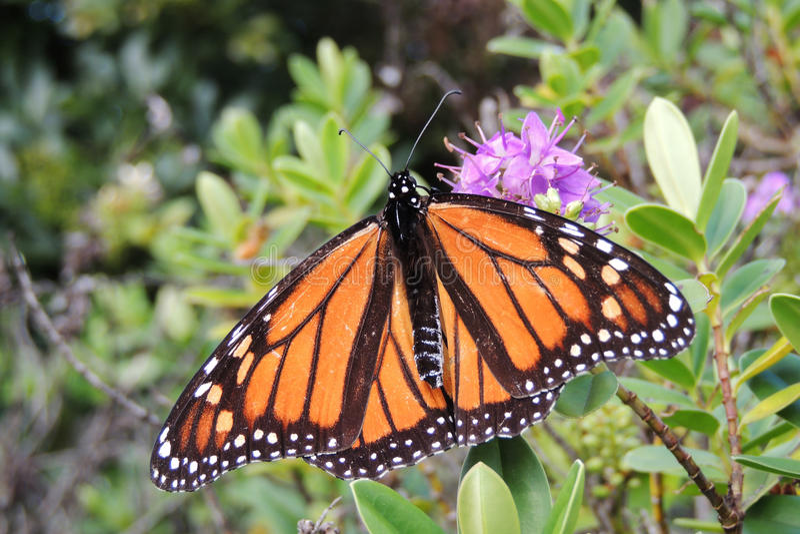 Monarca da borboleta foto de stock royalty free