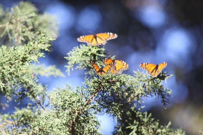 Monarca da praia de Pismo, Califórnia imagem de stock