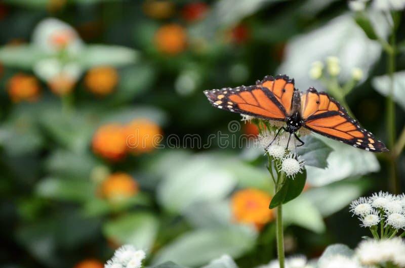 Monarca della farfalla immagine stock