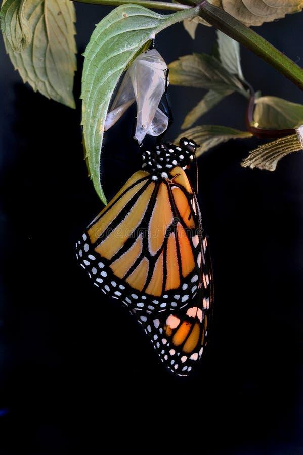 Monarca emergente immagine stock libera da diritti