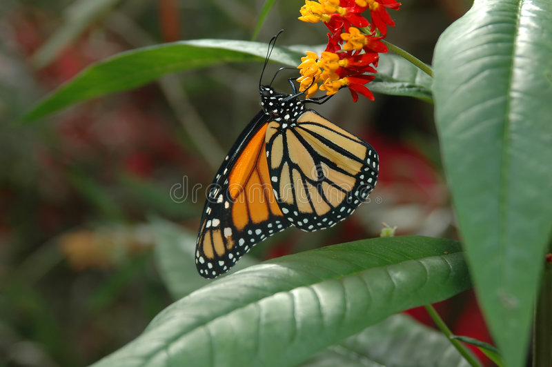 Monarca en las flores amarillas y rojas imagen de archivo libre de regalías