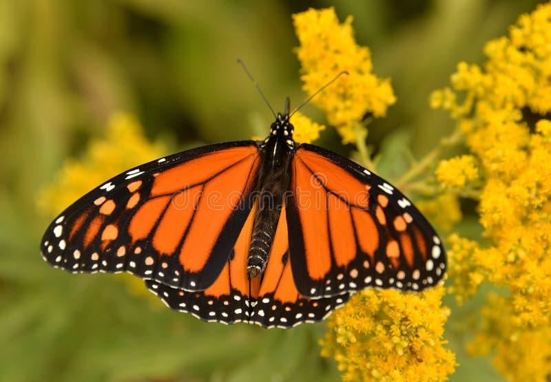Monarca maschio sul parco giallo carico di Sheldon Lookout Humber Bay Shores fotografia stock libera da diritti