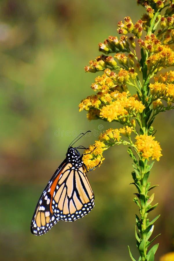 Monarca na flor dourada de Rod imagens de stock royalty free