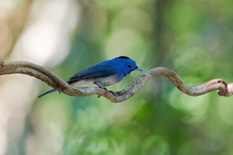 Monarca nero--naped maschio bagnato, uccello blu del pigliamosche con PA nero fotografia stock libera da diritti