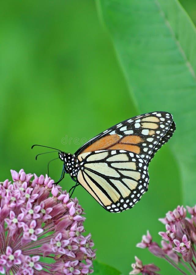 Monarca sul fiore del Milkweed fotografia stock