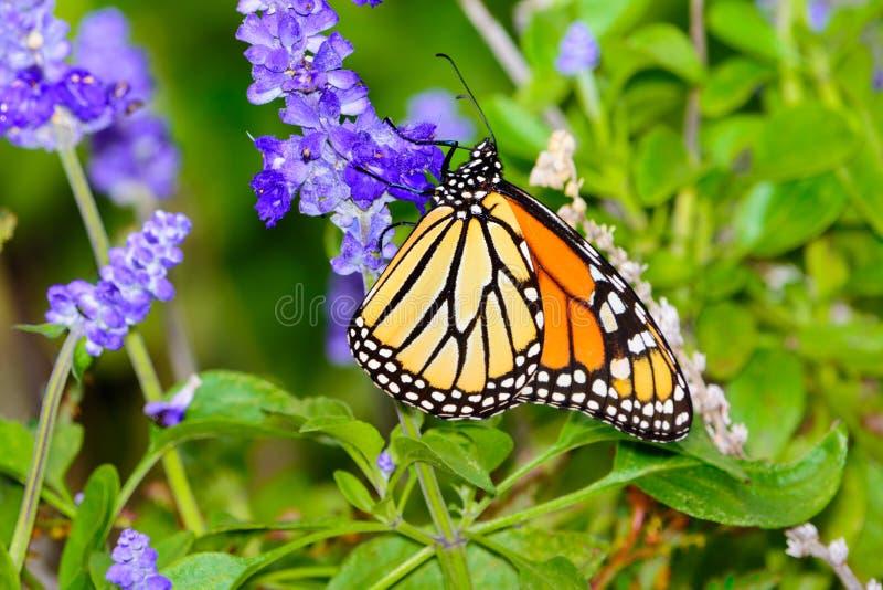 Monarca y x28; Plexippus& x29 del Danaus; acopio del néctar de la pequeña violeta la Florida fotos de archivo libres de regalías