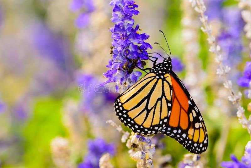 Monarca y x28; Plexippus& x29 del Danaus; acopio del néctar de la pequeña violeta la Florida imagen de archivo