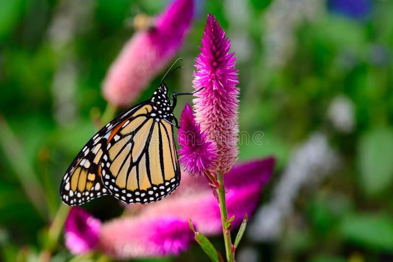 Monarca y x28; Plexippus& x29 del Danaus; En las flores rosadas brillantes fotos de archivo libres de regalías