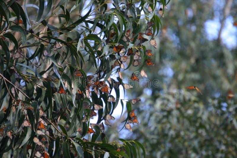 Monarcas en los puentes naturales 7 foto de archivo libre de regalías