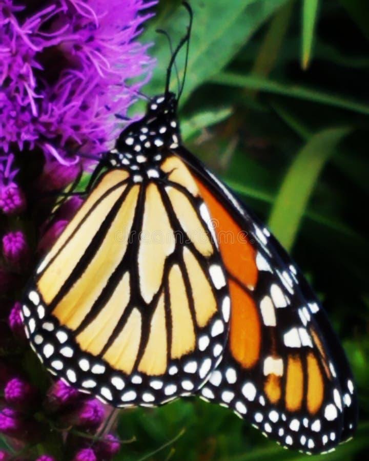 monarch lizenzfreies stockfoto