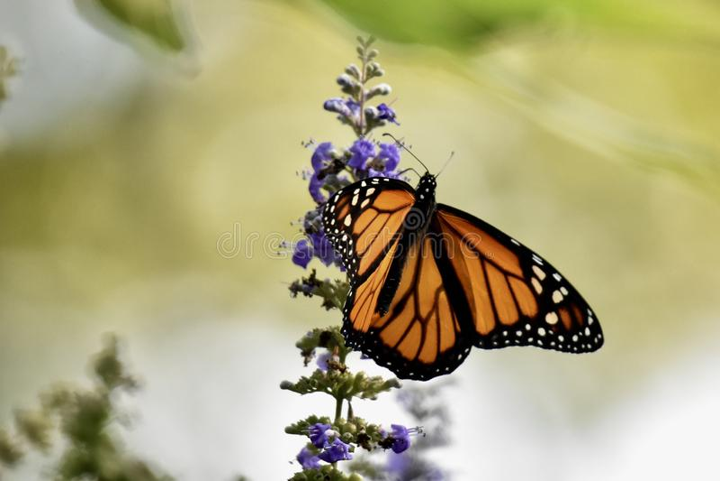 monarch stockbilder