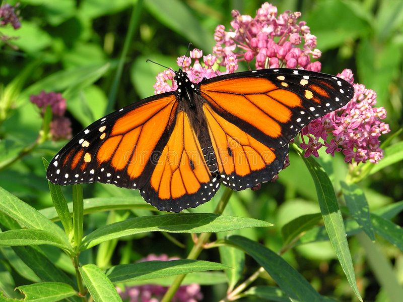 Download Monarch stock image. Image of butterfly, orange, monarch - 173419