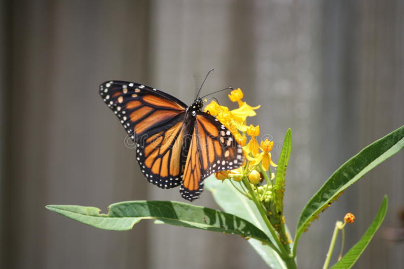 Monarch Stock Images