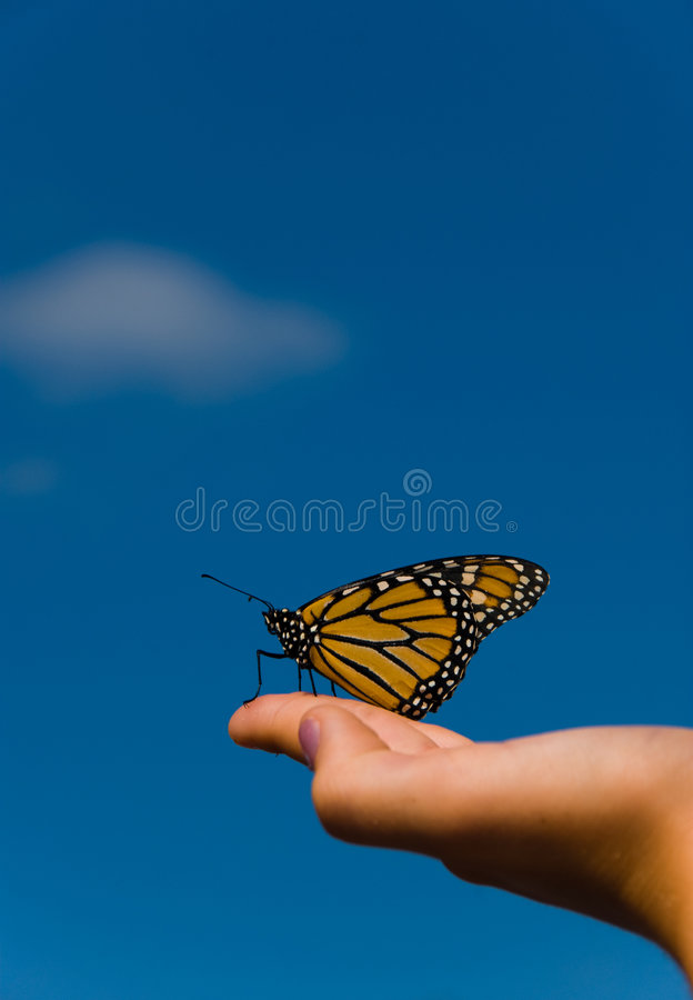Monarch. A monarch butterfly on a hand with orange royalty free stock photography