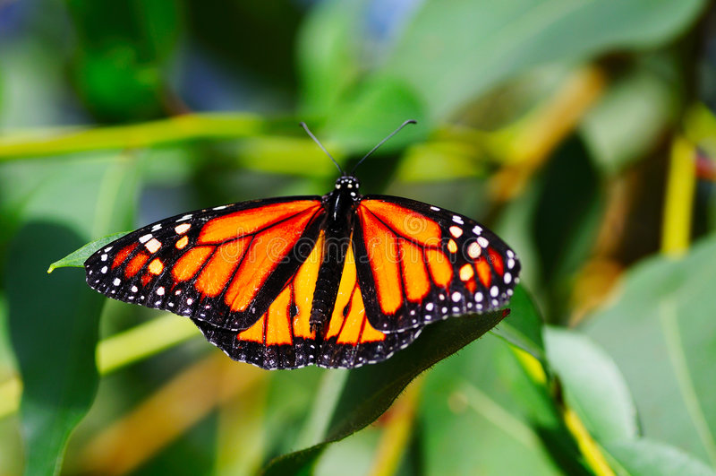 Monarch. Danaus plexippus butterfly on a plant royalty free stock photo