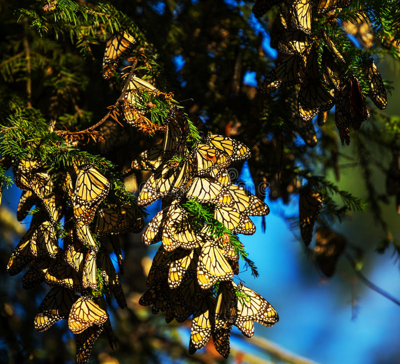 monarch royalty-vrije stock foto's