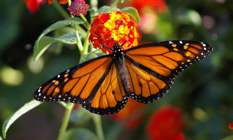 Monarch in all its glory on Lantana stock photos